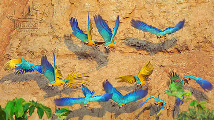 Peru Destinations Tambopata Macaws Madre de Dios Rainforest Amazon