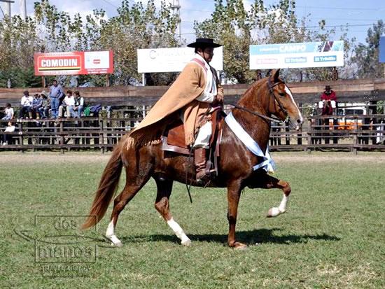 Afbeeldingsresultaat voor peruaanse peruvian paard