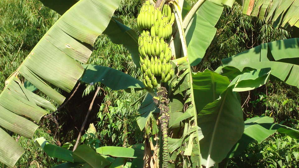 Bananas in the Jungle of Peru