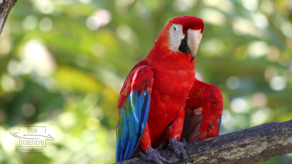 Red Guacamayo in the Jungle, Peru