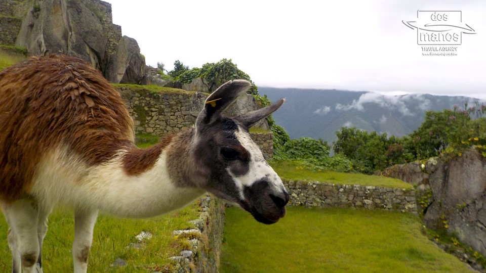 Llamas - frequent visitors at Machu Picchu