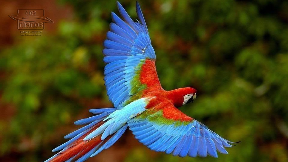Colourful Parrot in the Rainforest, Peru