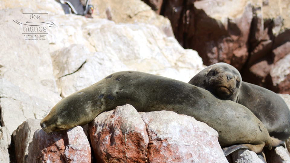 Ballestas Islands: Sea Lions
